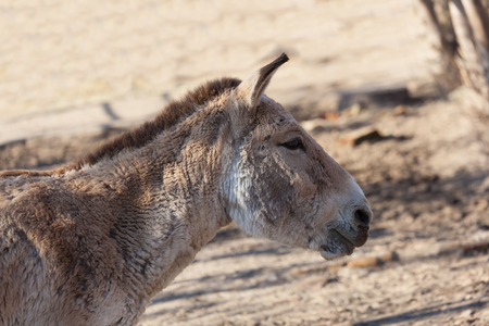 big ass: close portrait of a donkey, a summer day Stock Photo