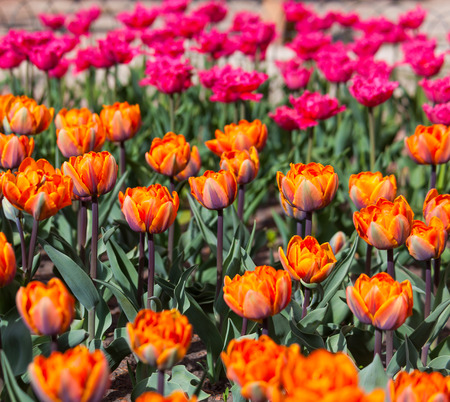 flowerbed with red and orange tulips, spring photo