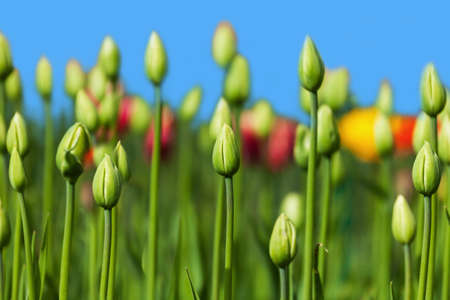 green buds of tulips growing in the flowerbed in spring photo