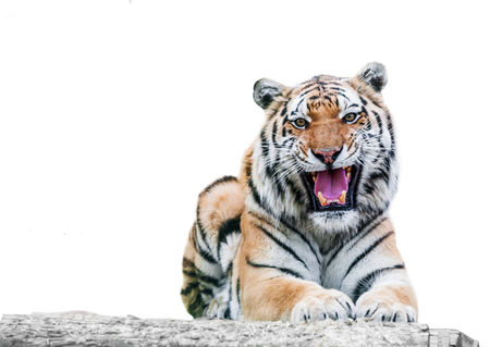 angry growling tiger on a white background photo