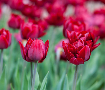 red tulips growing in the flowerbed in spring photo