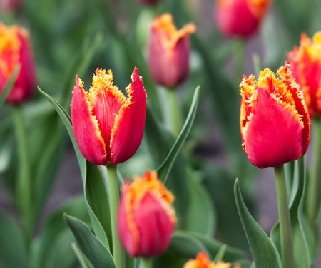 closeup of red tulips with pile growing in the flowerbed in spring photo