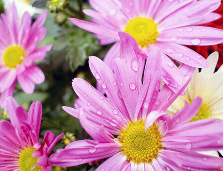 purple chamomile with dew, growing in the flowerbed in spring photo