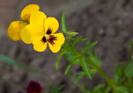 yellow flower growing in the flowerbed in spring photo