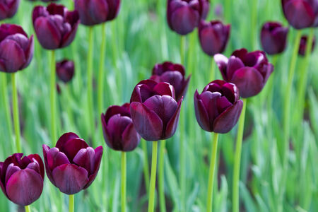 lot of purple tulips, spring background photo