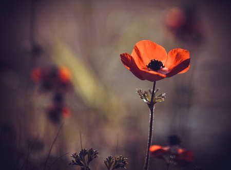 one red poppy, spring morning photo