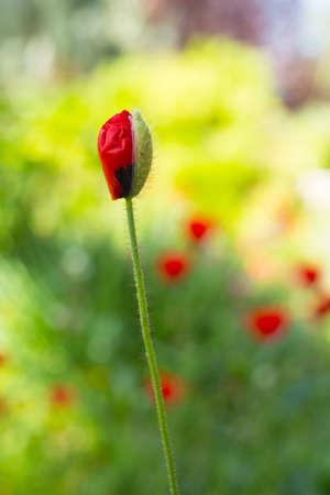 drop poppy flower, spring day photo