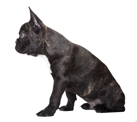 French bulldog dark color on a white background isolated photo