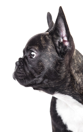Portrait of French bulldog isolated on white background Фото со стока