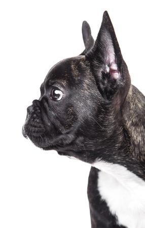 Portrait of French bulldog isolated on white background Stock Photo