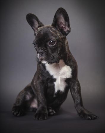 dog pppy bulldog on a dark background photo