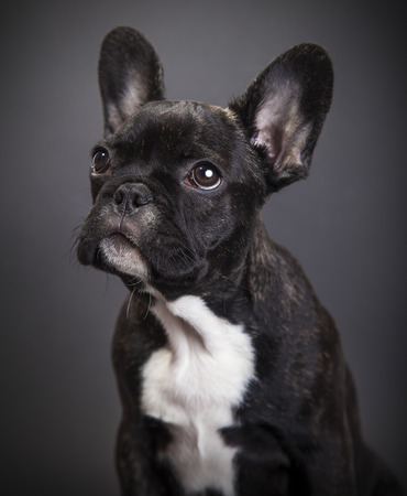 dog french bulldog on a dark background photo