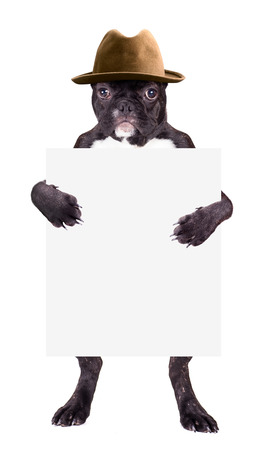 clutches: French bulldog with hat with a blank in the clutches Stock Photo