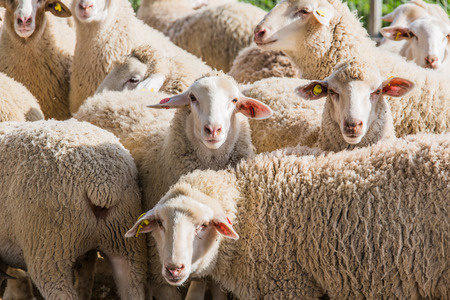 ram sheep: herd of white sheep in the countryside