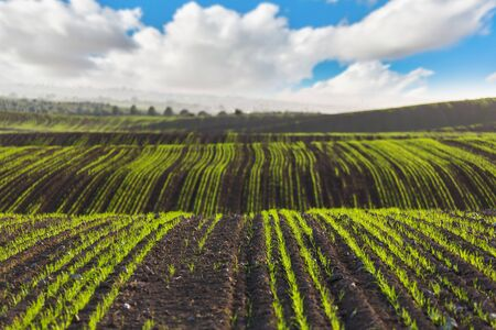 agricultural crops: landscape the field planted with agricultural crops