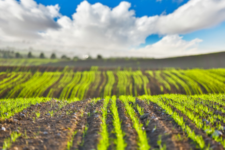 agricultural crops: scenery the field planted with agricultural crops Stock Photo