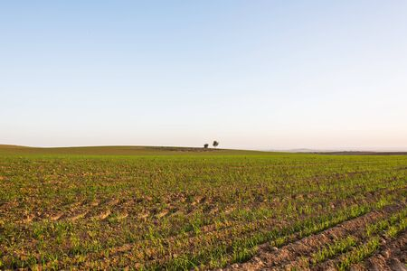 agricultural crops: the field scenery with ascendant agricultural crops