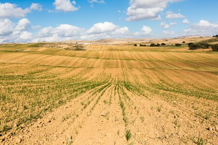 agricultural crops: the rural scenery with ascendant agricultural crops