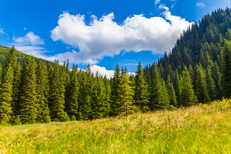 forest park: summer landscape pine forest in the Carpathians