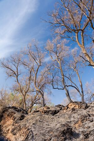 burning bush: summer landscape, land with trees after fire Stock Photo