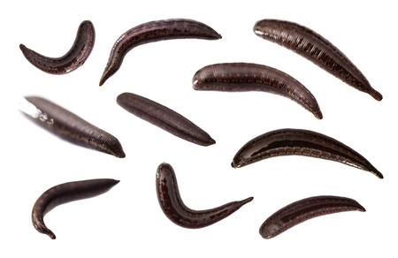 leech: medicinal leech closeup isolated on a white background Stock Photo