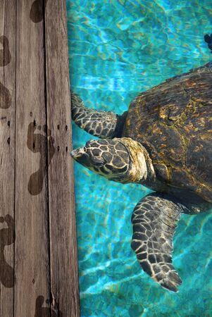 water turtle: big sea turtle and wet footprints human