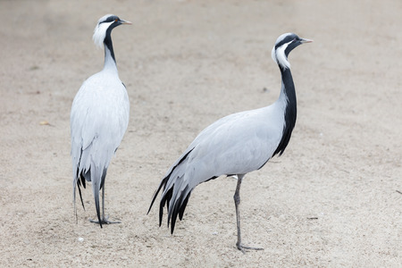 migrate: the two birds African crane standing outdoors