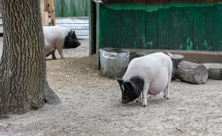 potbellied: Vietnamese pigs are grazed on a farm outdoors Stock Photo