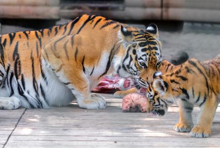 tigre cachorro: tigre y cachorro de tigre come el pedazo de carne Foto de archivo