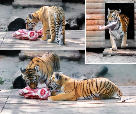 Tiger cub: tigre y cachorro de tigre come el pedazo de carne Foto de archivo