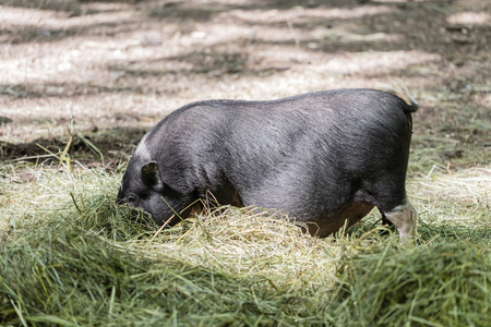 potbellied: Vietnamese pig are grazed on a farm outdoors