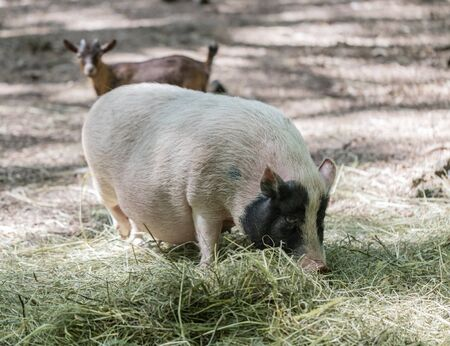 pot bellied: Vietnamese pig are grazed on a farm outdoors