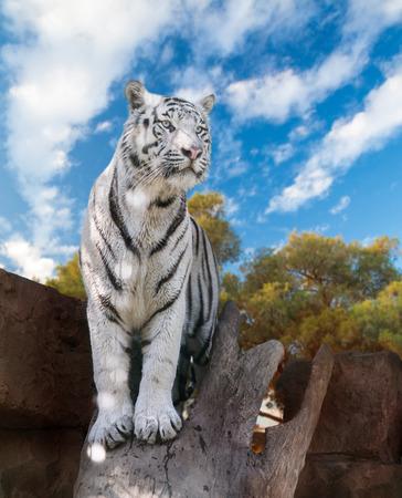 big white Bengal tiger closeup in nature