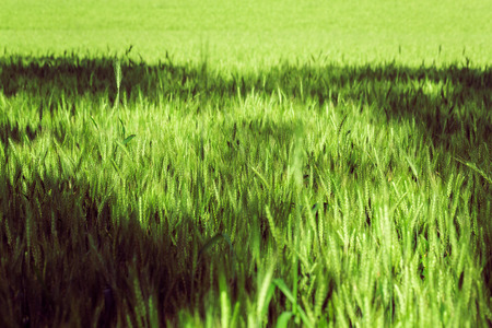 rural landscape, a field of growing the wheat