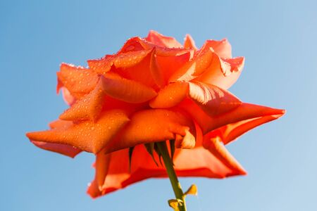 roze: red rose on a background of blue sky