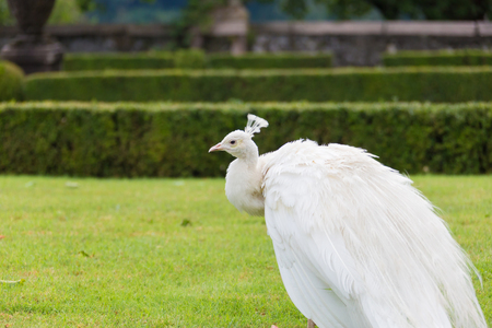 White peacock stands with closed tail on Borromean island Isola Madre, Italy