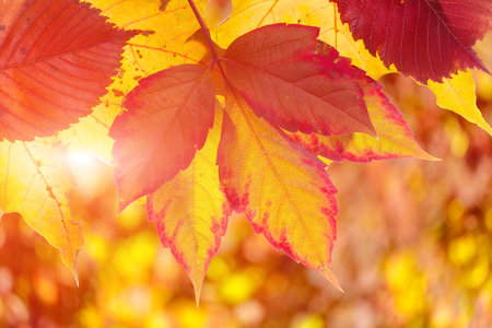 suns: the suns rays pass through leaves of autumn trees