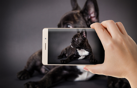 Hands with the phone close-up.Woman photographed the dog Bulldog on a smartphone