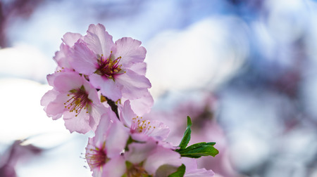 Blossoming peach tree branch close-up Stock Photo
