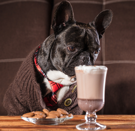 French bulldog in clothes at a table with a cup of hot chocolate Stock Photo