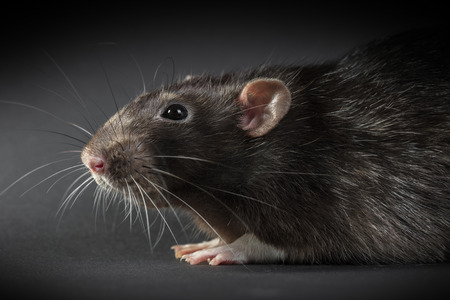 Animal gray rat close-up on a black background