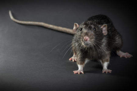 Animal gray rat close-up on a black background Reklamní fotografie - 82671967