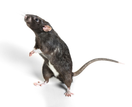 Animal rata gris cerca de fondo blanco