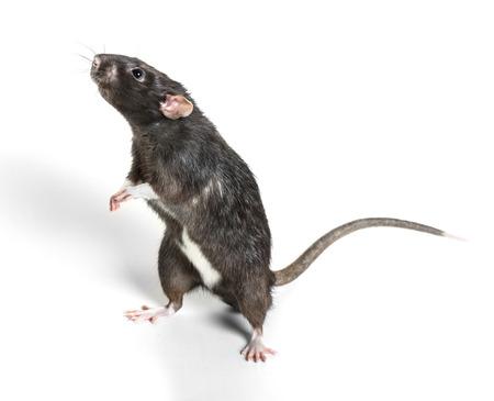 Zwierząt Szary szczur z bliska na białym tle