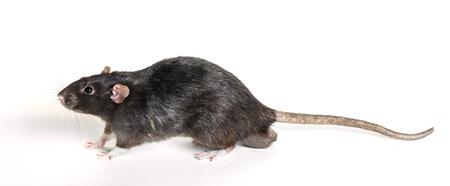 白い背景の動物の灰色ネズミ クローズ アップ
