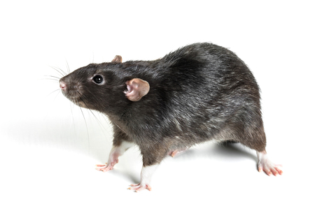 Animal gray rat close-up on white background
