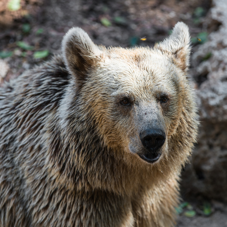 europeans: wild animal brown bear, close-up portrait Stock Photo