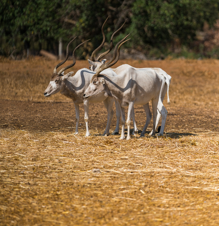 wildlife, animal antelope addax close-up in nature