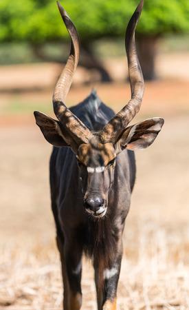 wildlife, animal antelope bongo close-up in nature
