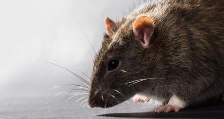 animal gray rat close-up on a black background Stock Photo